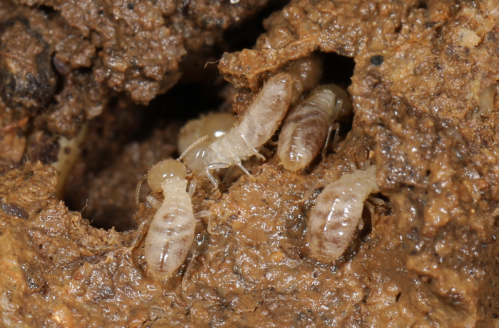 Subterranean Termites 101 and How to Avoid Them